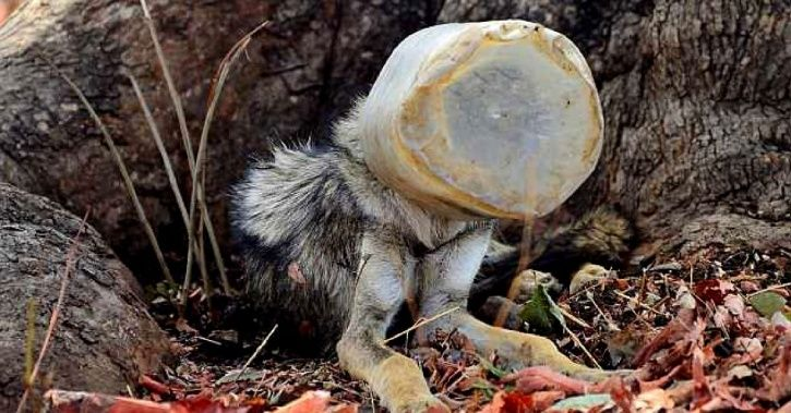 Nagpur Youths Rescue Starving Wolf Whose Head Was Stuck In A Plastic Jar
