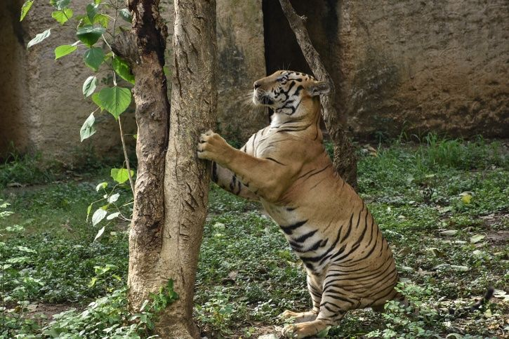 pregnant goat gangraped by 8 men, Global Tigers Day