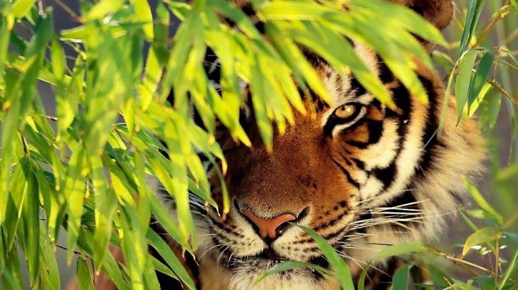 tiger estimation, Global Tiger Day