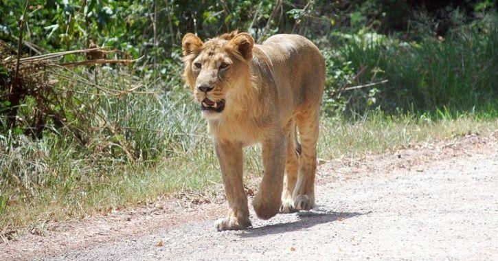 Asiatic Lions gujarat