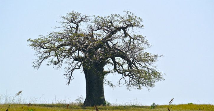 baobab tree in africa