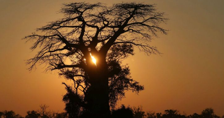 baobab trees are dying in africa due to climate change