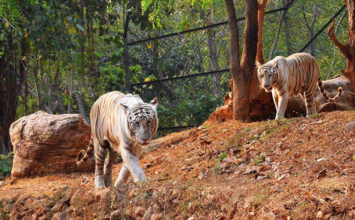 Bihar Sanctuary Tripled Tiger Numbers In 10 Yrs