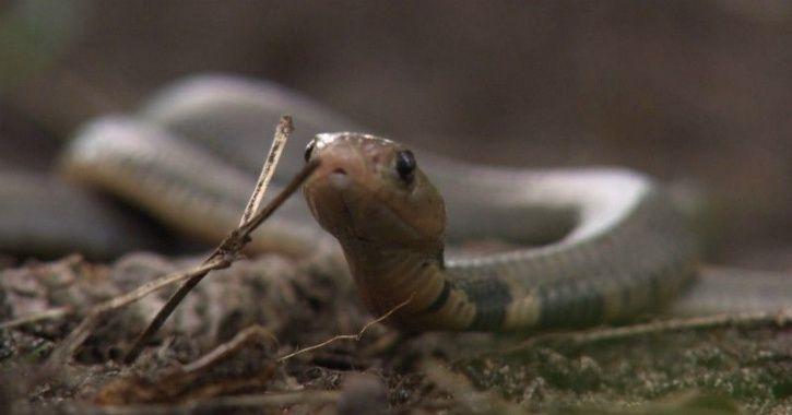 C Cobra babies found in Odisha man