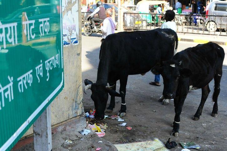 Cow Cess