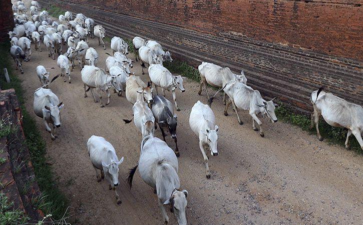 Cow Safari In Rajasthan