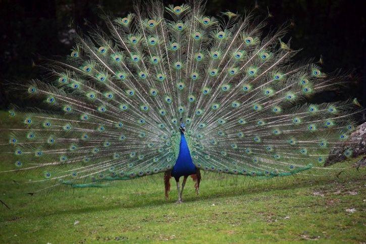 Newcastle Virus Kills 22 Peacocks