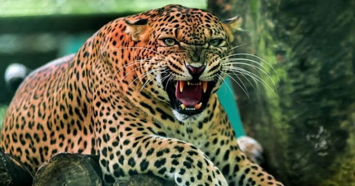 superheroes/representative image of a leopard