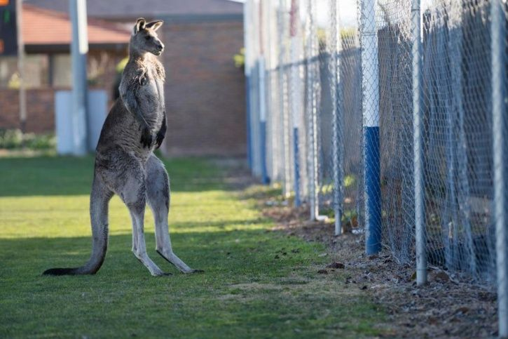 The kangaroo stopped play for over half an hour