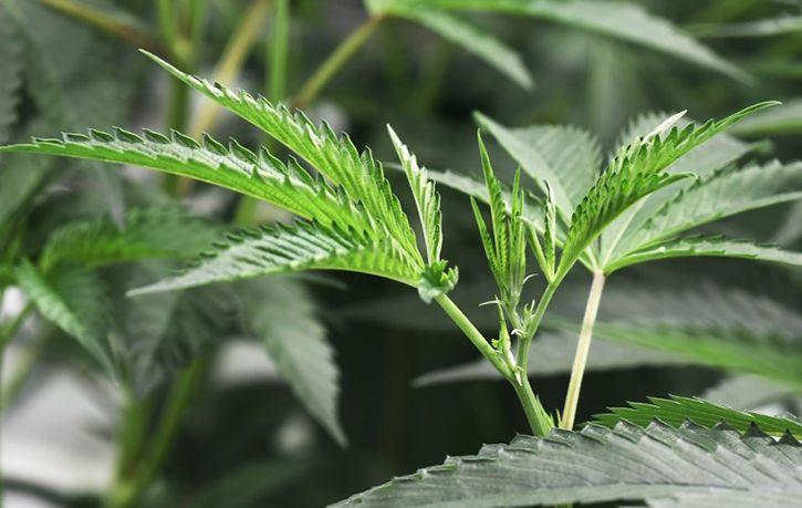 US Approves First Marijuana Plant Derived Drug For Epilepsy