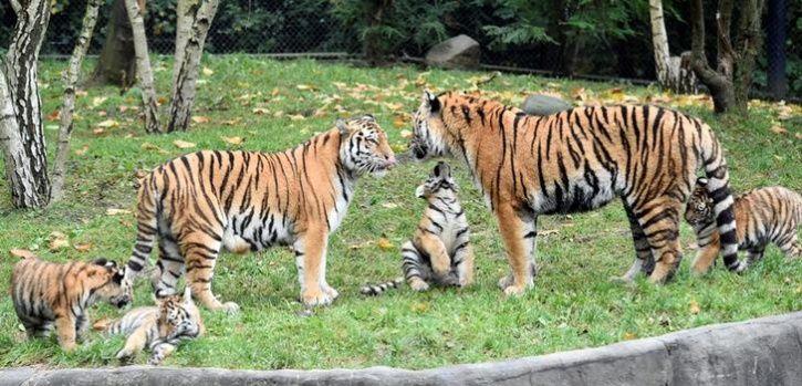 Coming Soon Tigers In Corbett Zoo
