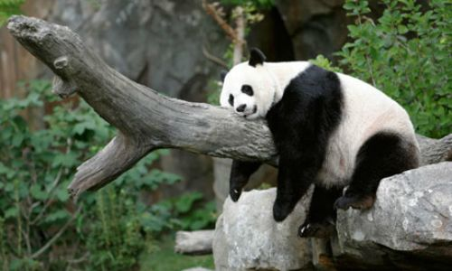 panda lazy animal