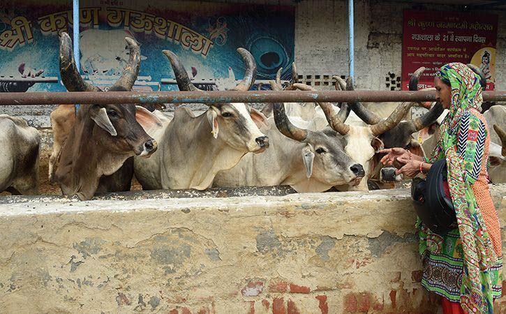600 Cows Go Missing From Shelter Home