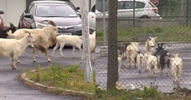A small Irish town is being terrorised by a bunch of procreating wild goats