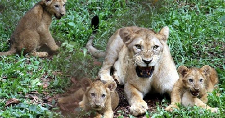 Lion Mothers Cubs After Lioness Dies