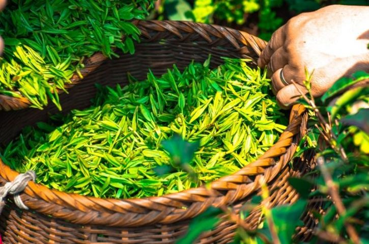 Scientist Accidentally Discover Nanoparticles In Tea Leaves That Kill Lung Cancer Cells