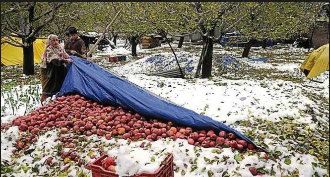 apple orchids, Jammu and Kashmir, snowfall, rescue, government, losses
