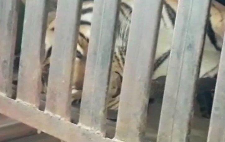 Avni Tiger