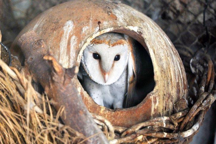 Barn Owl Black Magic