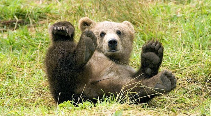 bear viral video