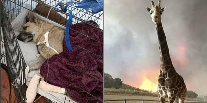 california wildfire, animals, pets