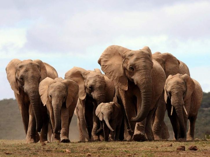 Elephants Are Now Evolving Without Tusks After Centuries Of Hunting For Ivory