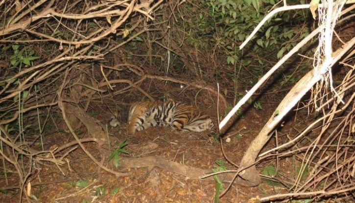 Mahavir Tiger