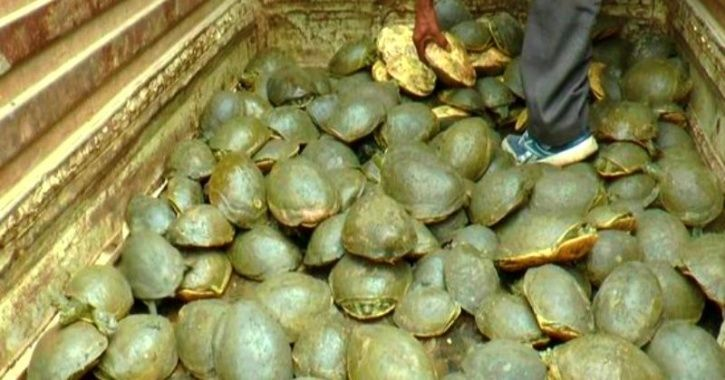 Out Of 654 'Rare' Sundhari Turtles, 482 Found Dead In UP Pond; Rest Severely Sick