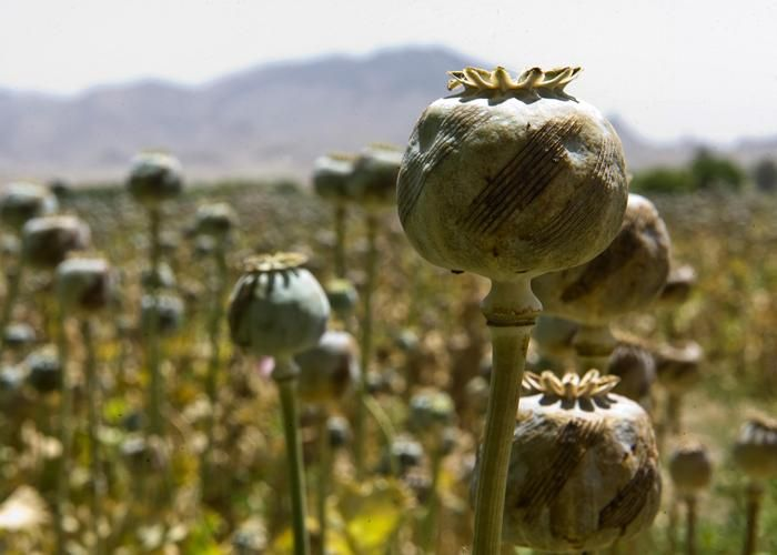 poppy cultivation, opium, narcotics trade, West Bengal, drones, excise officers, police