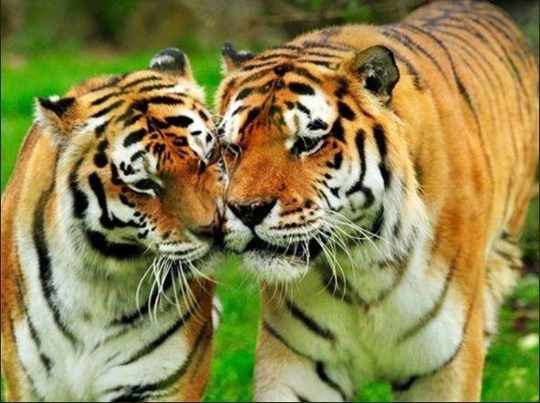 Bombay High Court, tigress Avni, Yavatmal, Pandharkawda forest, cubs, forest