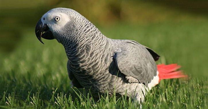 Congo grey parrot stolen