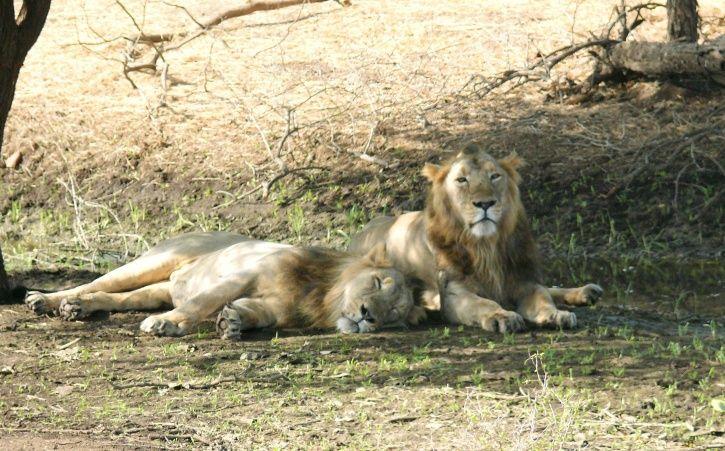 Gir Lion Deaths