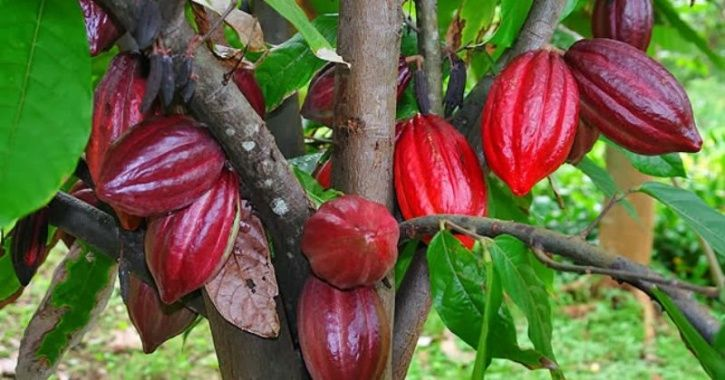 Humans Started Growing Cocao Trees, Source Of Chocolate, Over 3,600 Years Ago, Finds Study