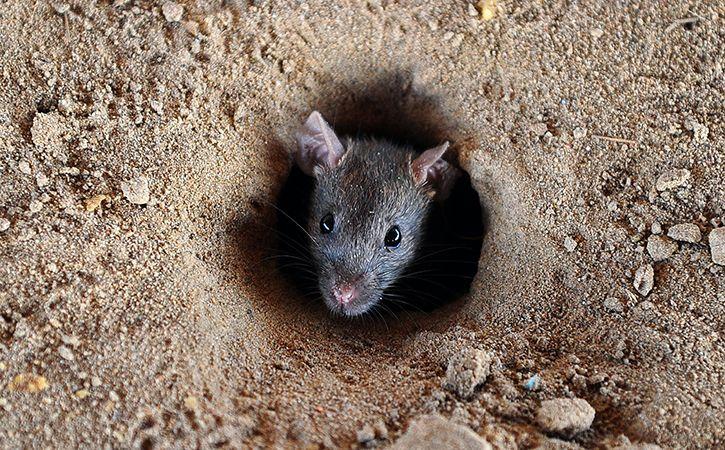 rat drinking seized booze in bihar