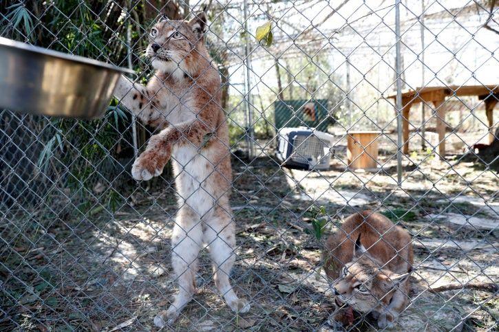Wild cat sanctuary, hurricane Michael, siberian lynx, destruction, devastation, panama, Florida