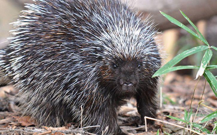 Man Crawls Inside Porcupine Den Dies