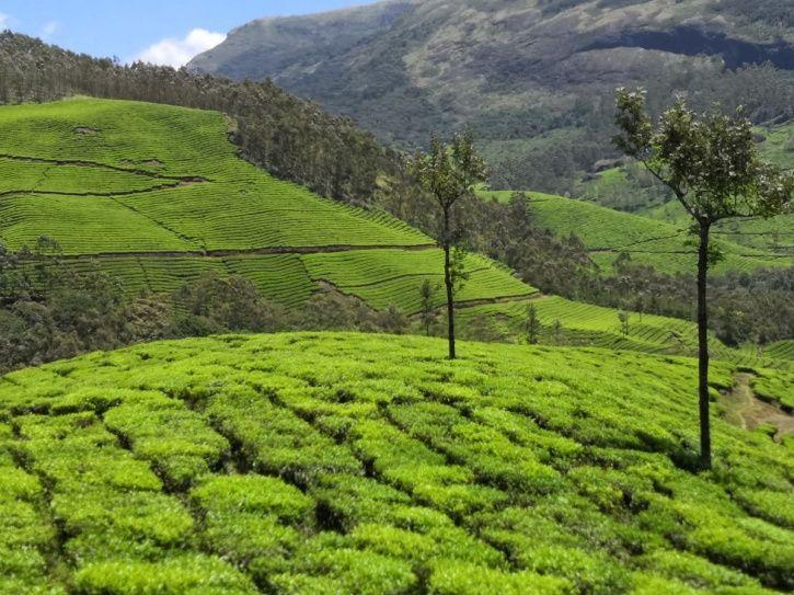 Munnar Tea Garden 1
