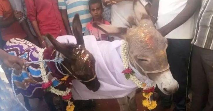 Mysuru Villagers Find Lonely Donkey A Bride