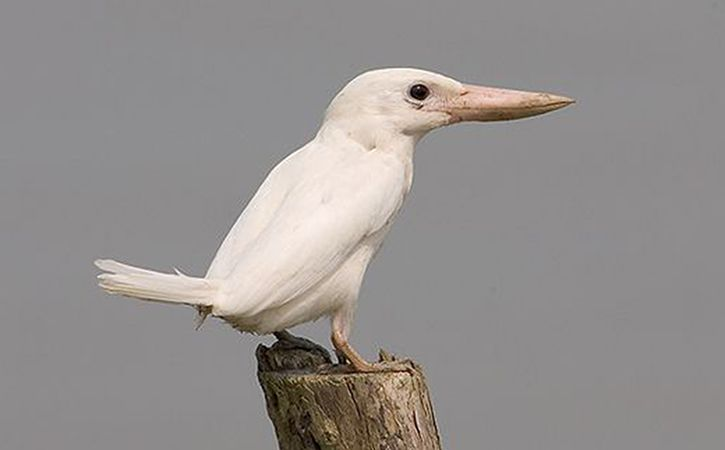 Rare White Kingfisher Found In Sunderbans