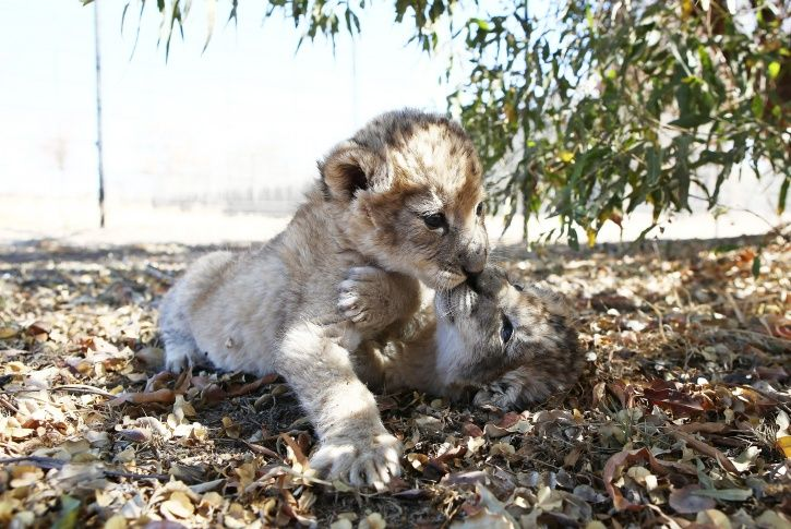 South Africa, lion cubs, artificially conceived, endangered species, University of Pretoria