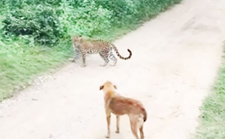 Stray Dog Scares Away Leopard In Rajasthan Forest