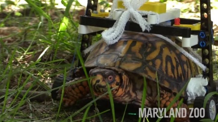 Turtle on wheelchair, Maryland zoo, eastern box turtle, turtle with lego wheelchair