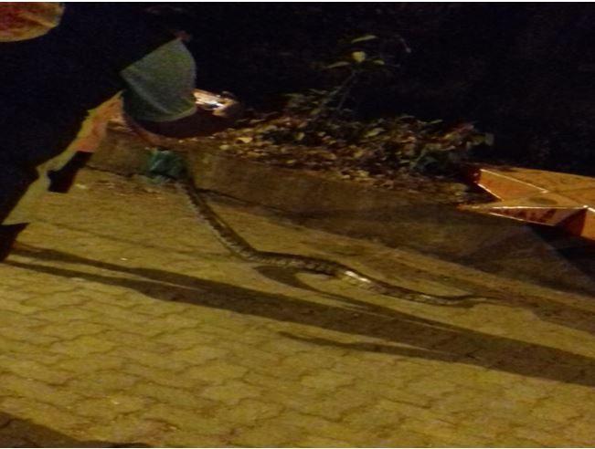 Rock Python, Mumbai, Vinay Dhoble, snake, washroom, drainage, rescue team