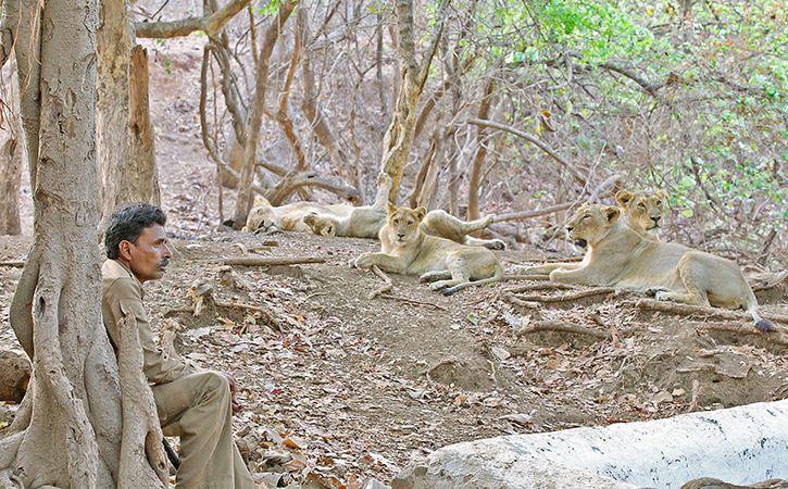 Centre Allocates Rs 59 Crore For Asiatic Lion Conservation