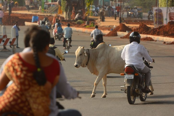 Cow Collision