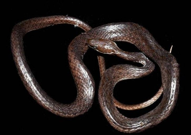 crying keelback, snake, Guwahati zoologist, Lepa Rada district, Arunachal Pradesh