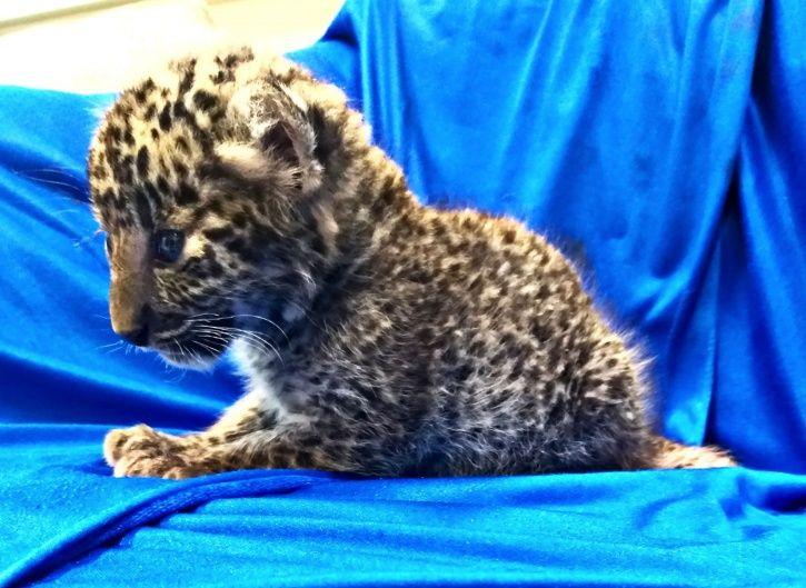 leopard cub, smuggling, Chennai airport, Thai airways, Bangkok, Air Intelligence Unit