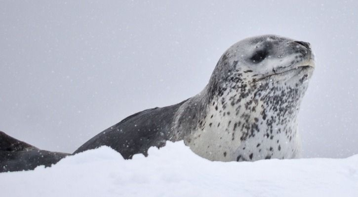 leopard seal poop