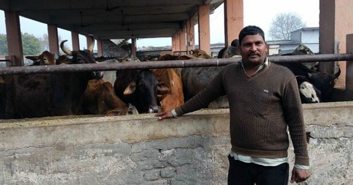 Muslims taking care of cows.
