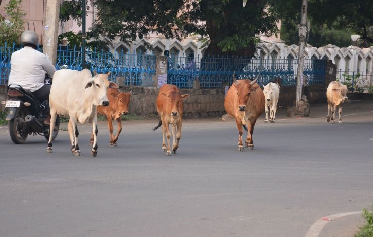 Stray Cattle